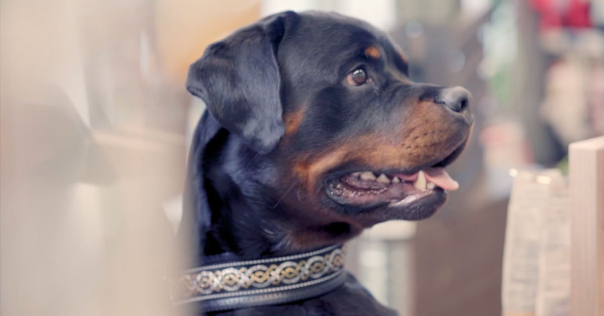 Musti ja Mirri verkkokaupan tyytyväinen koira-asiakas - musta koira