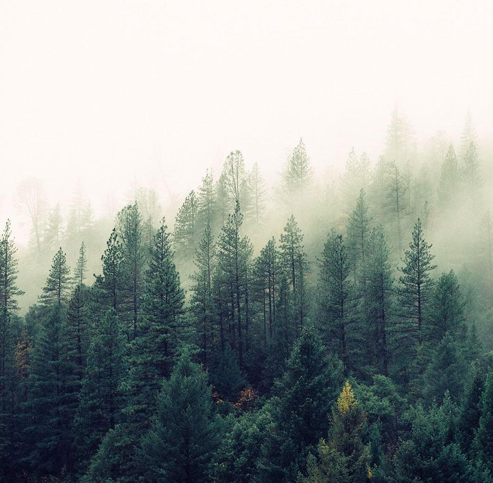 Havupuumetsä sumussa